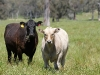 2011 Charolais/Angus cross calves